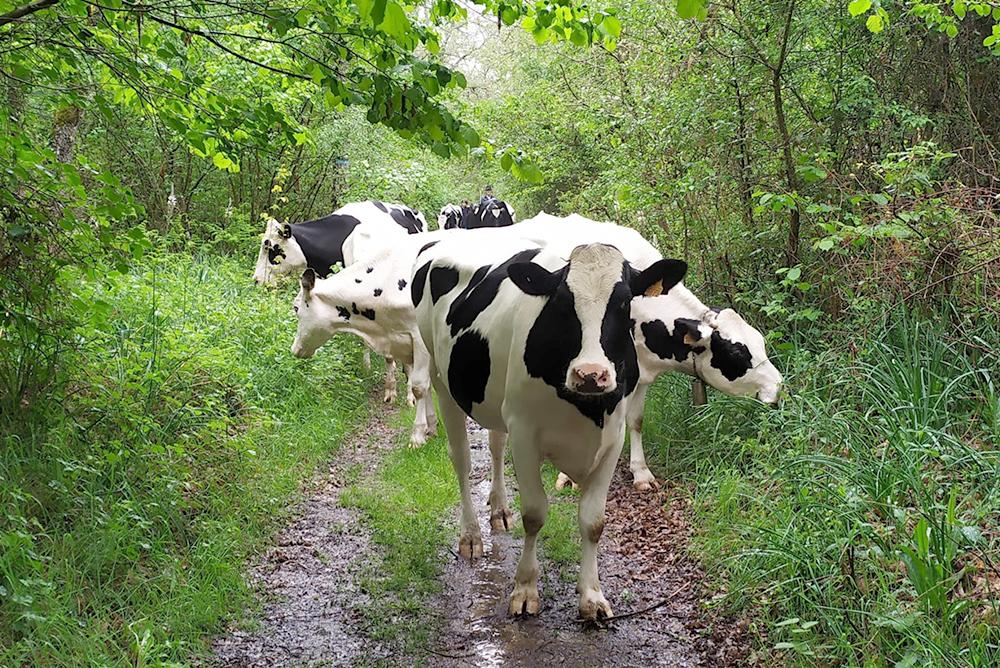 vaca pinta